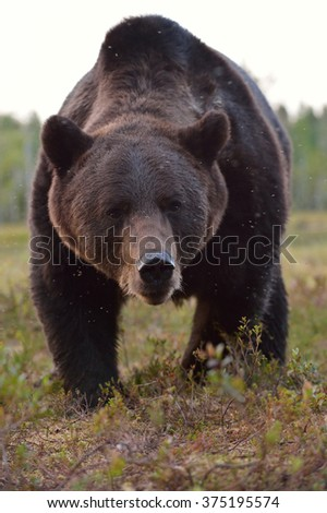 Brown bear (Ursus arctos) portrait. Close up. Bear face. Paw. Claws. Wild bear. Watch out bear. Danger. - stock photo