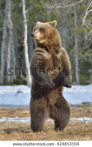 Brown bear (Ursus arctos) standing on his hind legs on a bog in the spring forest. - stock photo