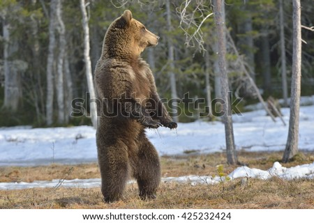 Brown bear (Ursus arctos) standing on his hind legs on a swamp in the spring forest. After hibernation - stock photo
