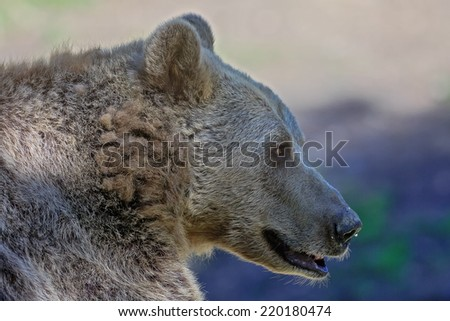 brown bear very close up - stock photo