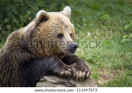 Brown bear waiting