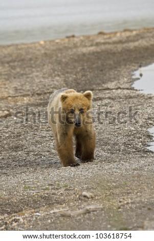 Brown Bear walking along Naknek Lake in Katmai National Park - stock photo