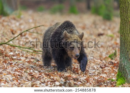 brown bear walking in the wood - stock photo