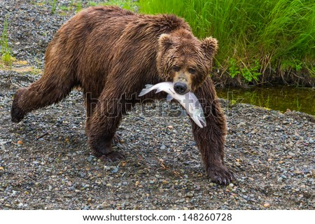 Brown Bear Walking With Salmon in Mouth. A grizzly bear at Katmai National Park walks with it's Salmon catch. - stock photo