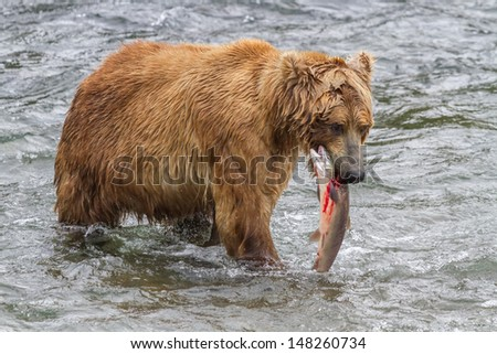 Brown Bear With Bloody Salmon in Mouth - stock photo