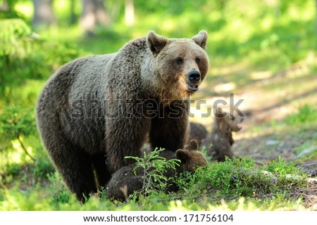 Brown bear with cubs in forest - stock photo