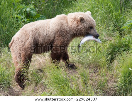 Brown bear with large salmon