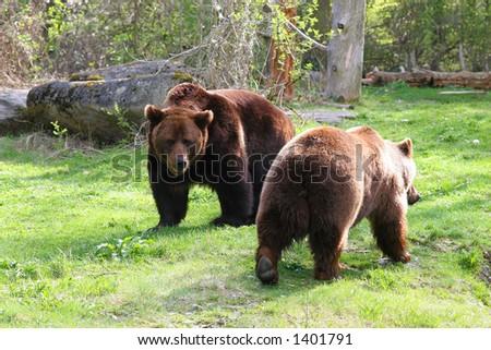 brown bears - stock photo