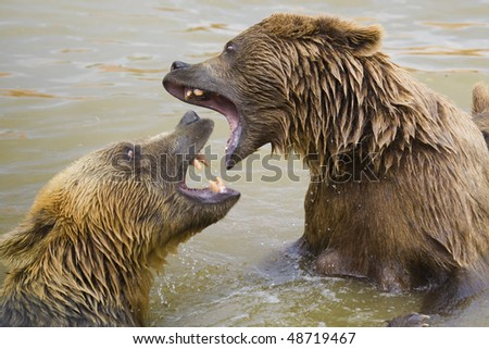 Brown Bears Fighting in the Water - stock photo