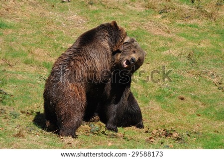 brown bears in fight