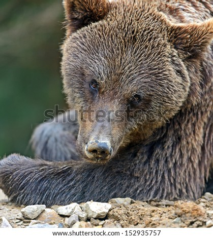 Brown bears in the Carpathians.