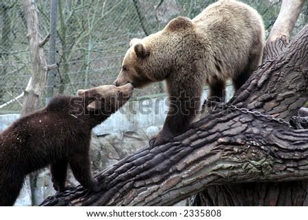 brown bears kissing, Skansen Park, Stockholm, Sweden - stock photo