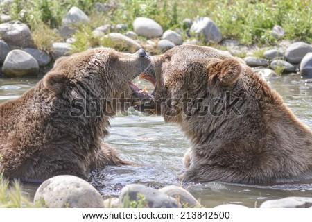brown bears play fighting - stock photo