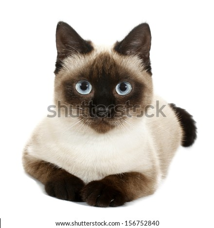 Brown beige cat with blue eyes - stock photo