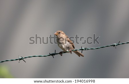 Brown Bird in the Barbed Wire, Braga, Portugal - stock photo