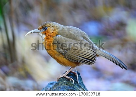 Brown bird, Rusty-cheeked Scimitar-babbler (Pomatorhinus erythrogenys), standing on the log, side profile