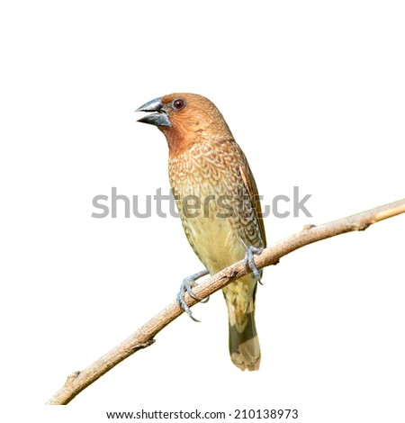 Brown bird, Scally-breasted Munia (Lonchura punctulata) perching on branch, white background