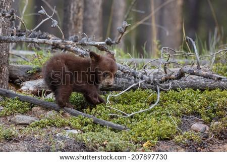 Brown black bear cub. - stock photo
