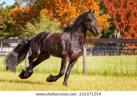 Brown black frisian / friesian horse galloping cantering running slowly swiftly in a field meadow paddock pasture in autumn fall looking graceful elegant dapper dashing with long mane and tail - stock photo
