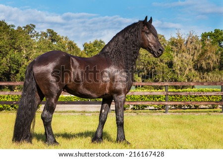 Brown black frisian / friesian horse standing still not moving waiting watching in a fenced field meadow paddock pasture looking elegant handsome regal with a long mane and tail - stock photo