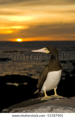 brown booby in sunset light - stock photo