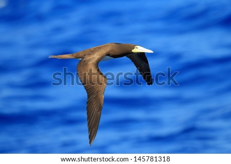 Brown Booby (Sula leucogaster) in Japan - stock photo