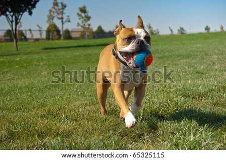 brown boston terrier dog running with ball in mouth - stock photo
