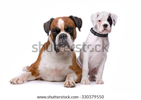 Brown boxer dog and a boxer puppy in front of a white background