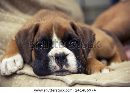 Brown Boxer puppy lying on the ground - stock photo
