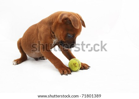Brown Boxer puppy staring at small green ball 3 - stock photo