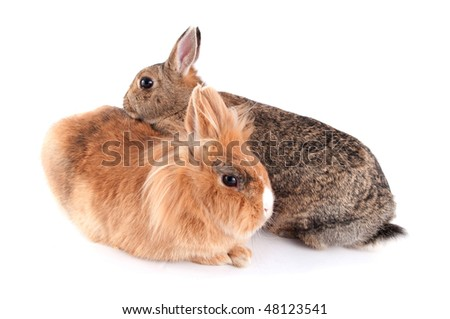 Brown bunnies isolated on white