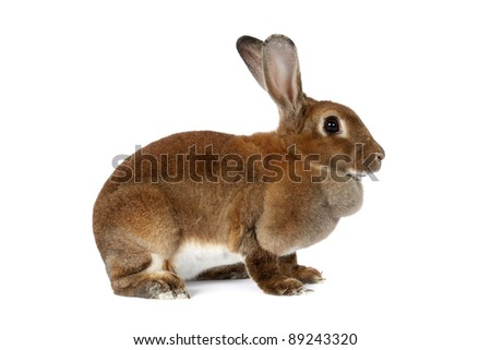 Brown bunny isolated on white