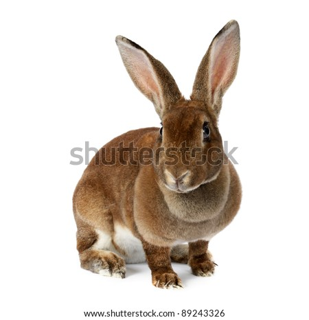 Brown bunny isolated on white - stock photo
