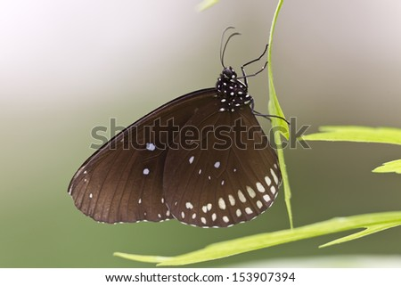 Brown Butterfly lepidoptera