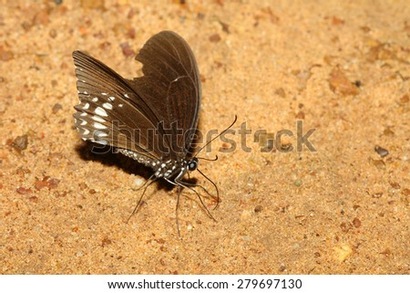 brown butterfly on sand in thailand - stock photo