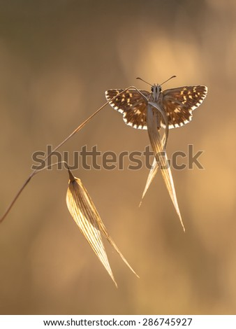 Brown Butterfly with White Dots on Brown Grass with Brown Background