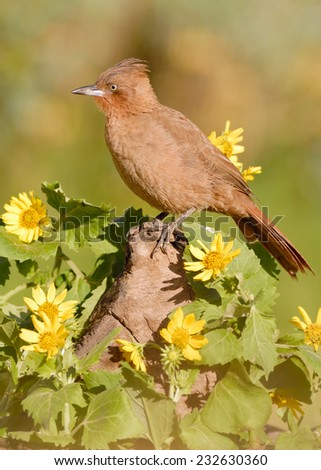 Brown Cacholote (Pseudoseisura lophotes) surrounded by unidentified sunflowers. Patagonia, Argentina, South America. - stock photo