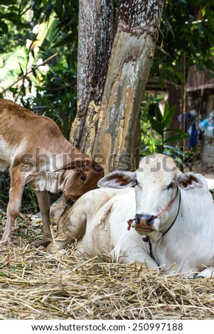 Brown calf with his mother cow - stock photo