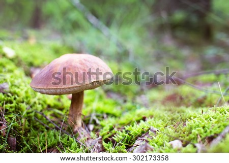 Brown cap boletus mushroom in moss. Tasty food ingredient. Creamy bokeh - stock photo