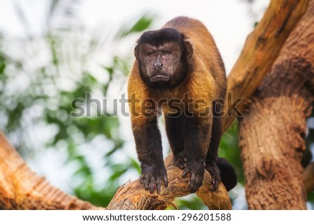 Brown capuchin monkey loking among the trees - stock photo