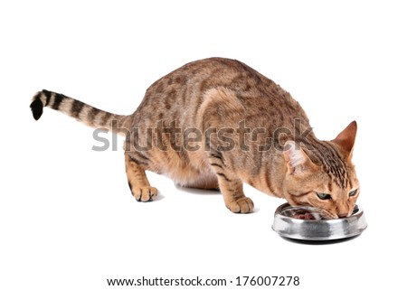 Brown cat breed Bengal (leopard cat - Prionailurus bengalensis) eating from a bowl, isolated on white background - stock photo