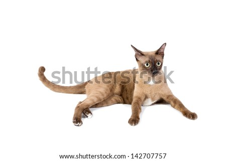 Brown cat, isolated white background