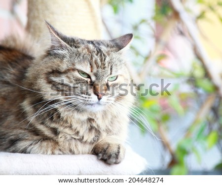 brown  cat of siberian breed, female tricolor