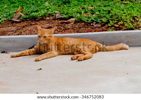 brown cat/thai cat