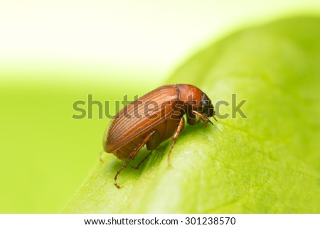 Brown chafer, Serica brunnea on leaf, copy space in the photo - stock photo