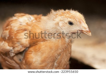 Brown chicken in a cage. Poultry farm - stock photo