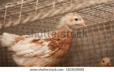 Brown chickens in a cage. Poultry farm - stock photo