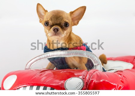 Brown Chihuahua dog in a red car.