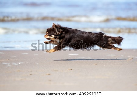 brown chihuahua dog running on the beach
