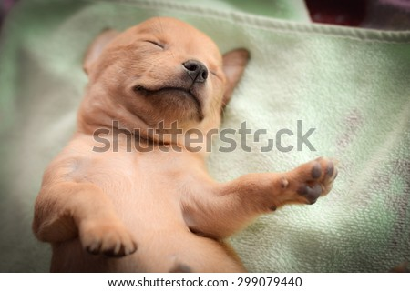 Brown chihuahua puppy is sleeping on mattress - stock photo